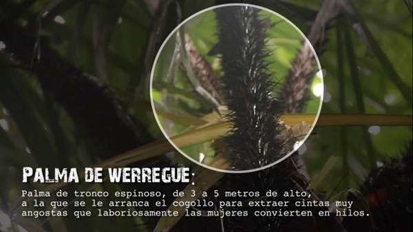 Imagen de la palma werregue
